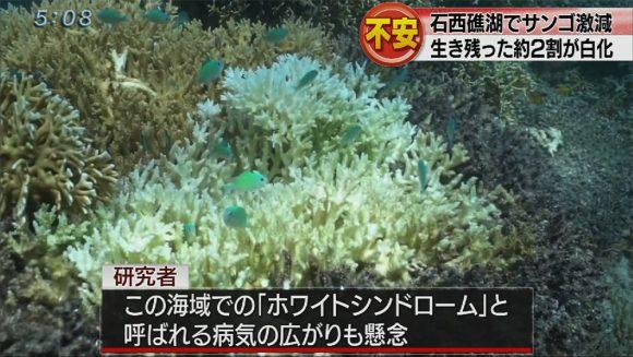 石西礁湖 サンゴ激減 すでに白化2割