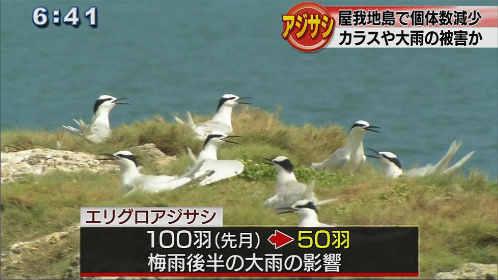 屋我地島でアジサシ飛来調査、先月より減少