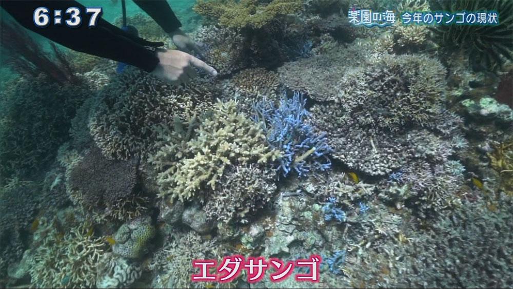 楽園の海 今年のサンゴの現状