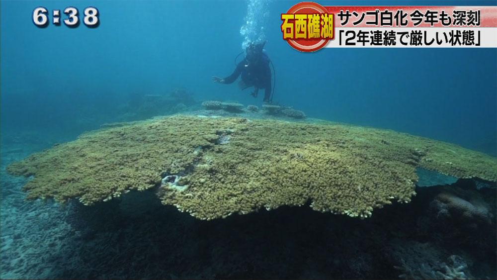 石西礁湖 ことしも5割白化か