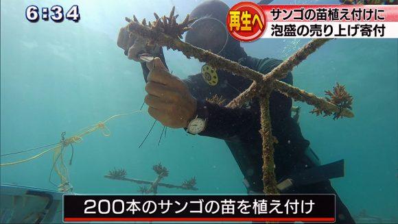 サンゴの苗を植え付け