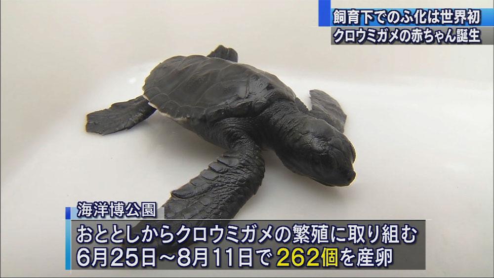 クロウミガメの赤ちゃん誕生