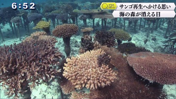 Qプラスリポート サンゴ再生へかける思い 海の森が消える日
