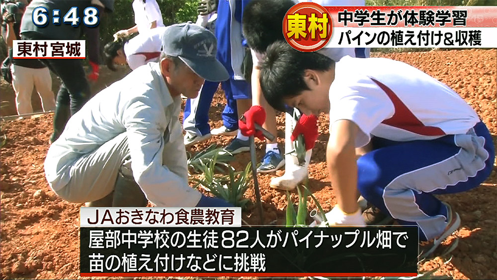 中学生がパイナップル収穫体験