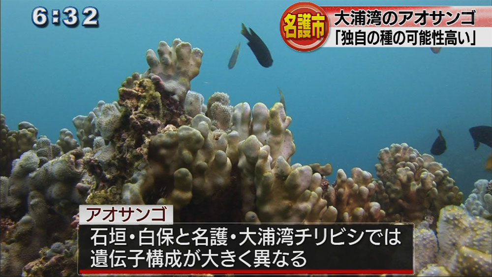 大浦湾チリビシのアオサンゴ、独自の種か
