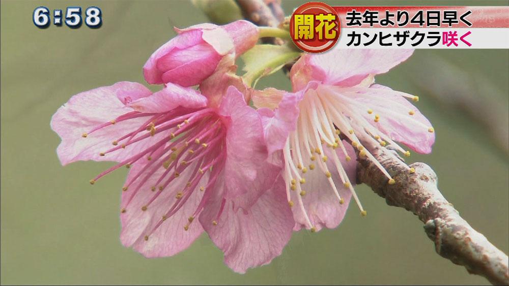 沖縄気象台がサクラ開花発表