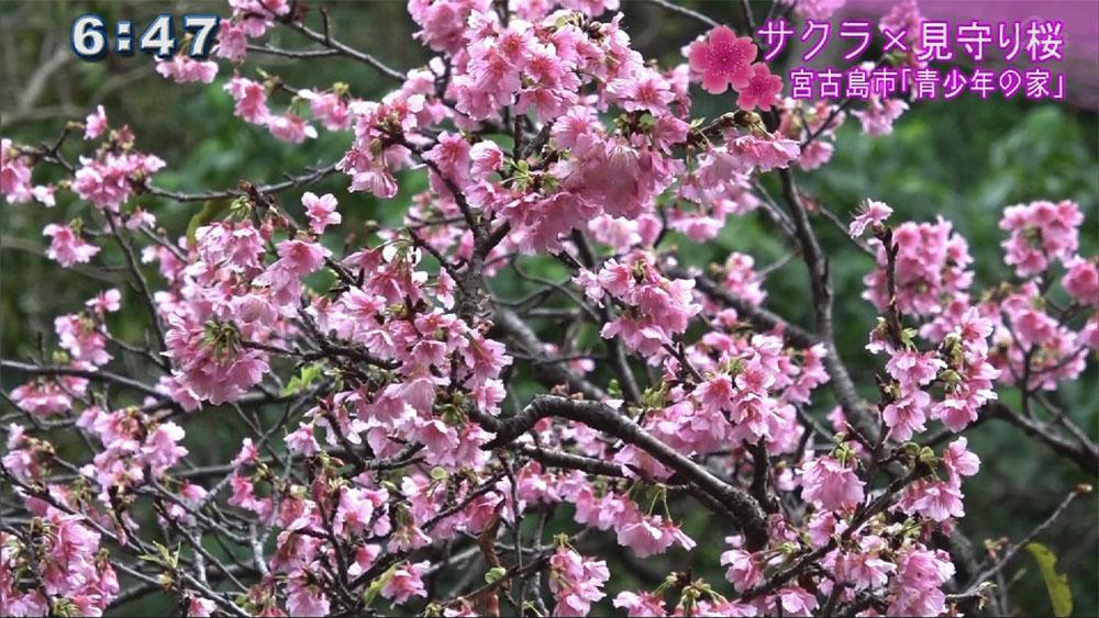 サクラ×見守り桜 子どもの成長を見つめ続ける