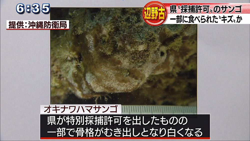 辺野古 オキナワハマサンゴに一部食害か