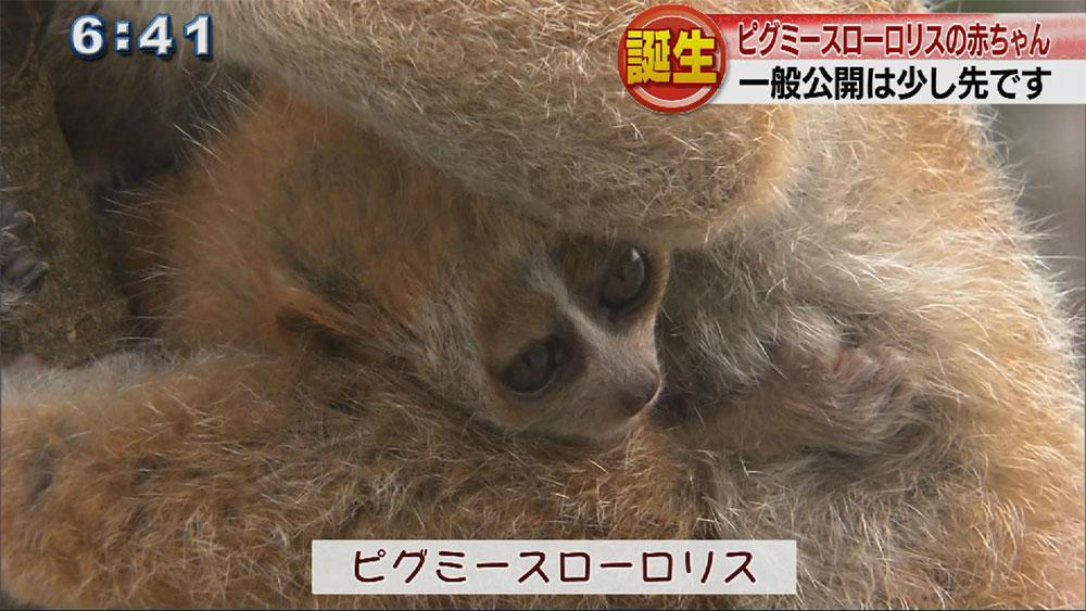ピグミースローロリス誕生 沖縄こどもの国