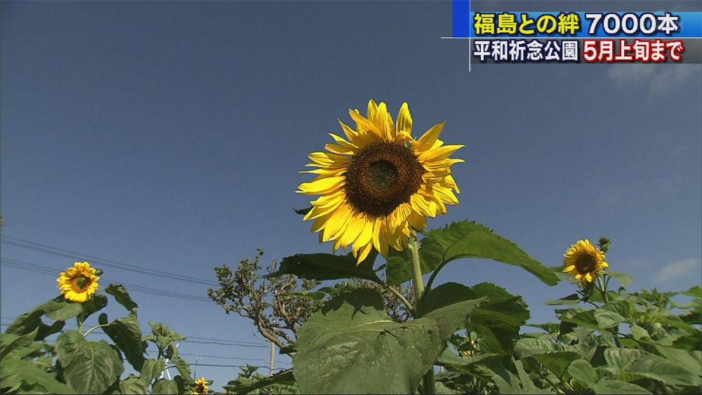福島と沖縄の絆でつくるヒマワリ畑の迷路
