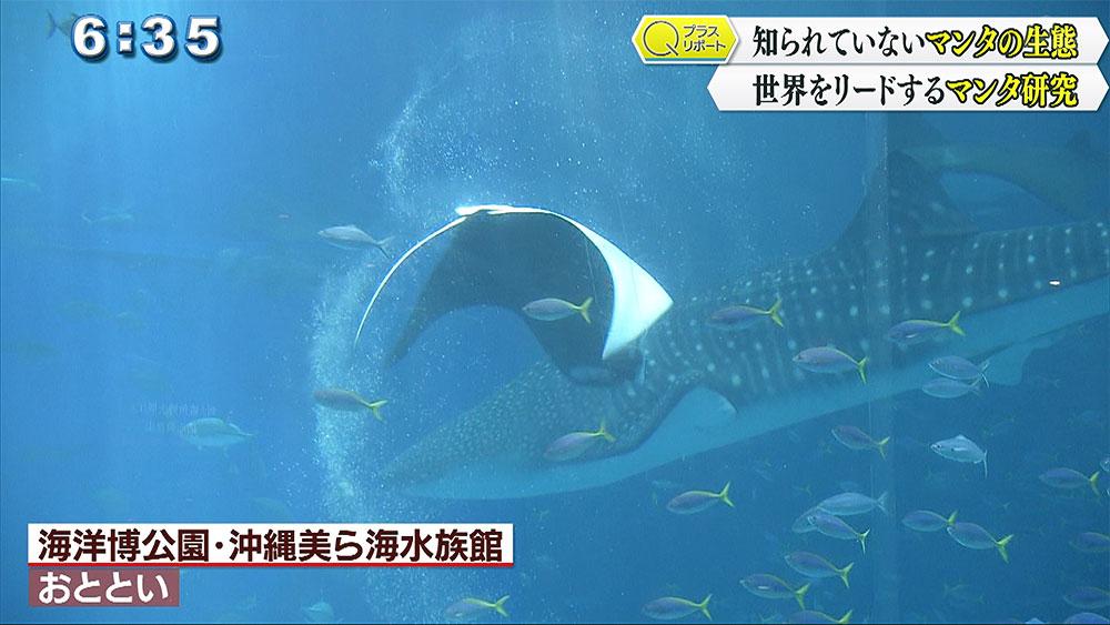 Qプラスリポート 沖縄美ら海水族館 マンタ研究の魅力