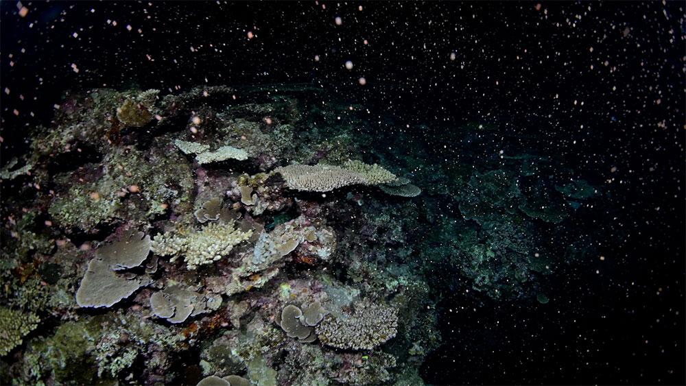 大浦湾でサンゴの一斉産卵
