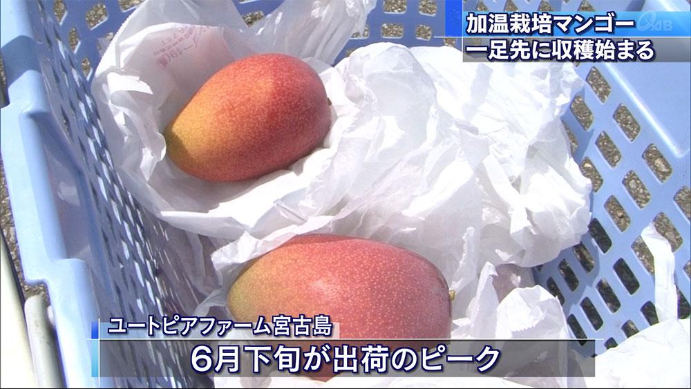 加温栽培のマンゴー収穫始まる