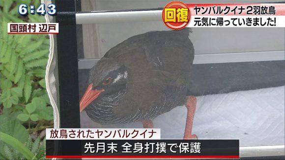 回復したヤンバルクイナ2羽を放鳥