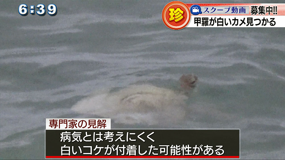 白い甲羅の「アオウミガメ」見つかる