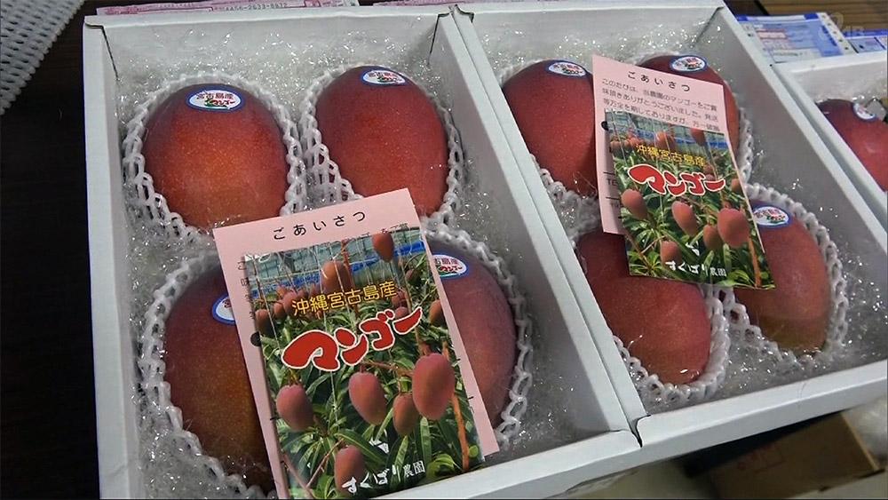 宮古でマンゴー収穫 台風8号乗り越え