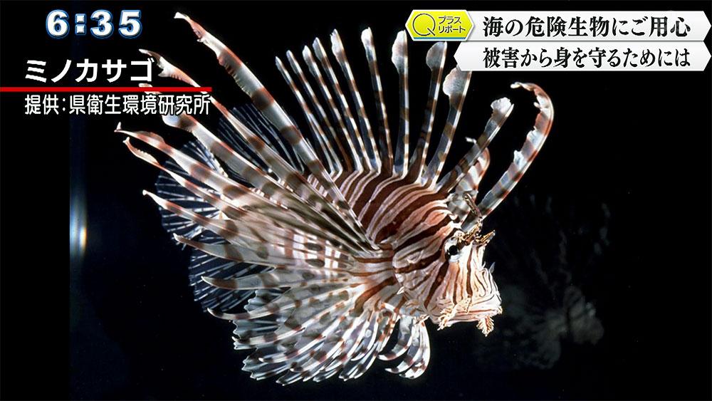 Qプラスリポート 海の危険生物にご用心 ハブクラゲの被害から身を守るために