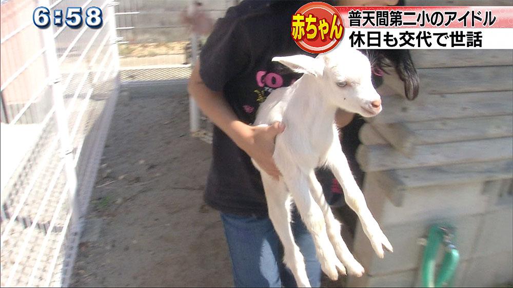 普天間第二小学校でヤギが誕生