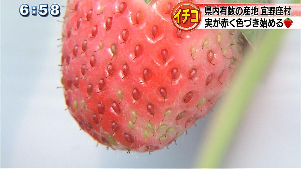 宜野座村 年明けからイチゴ狩り