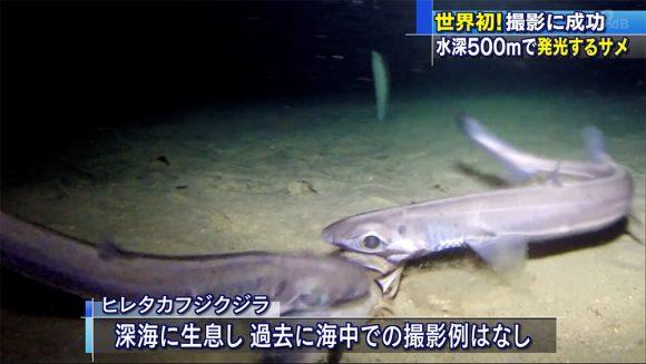 世界初! 腹部が発光する深海サメの撮影に成功