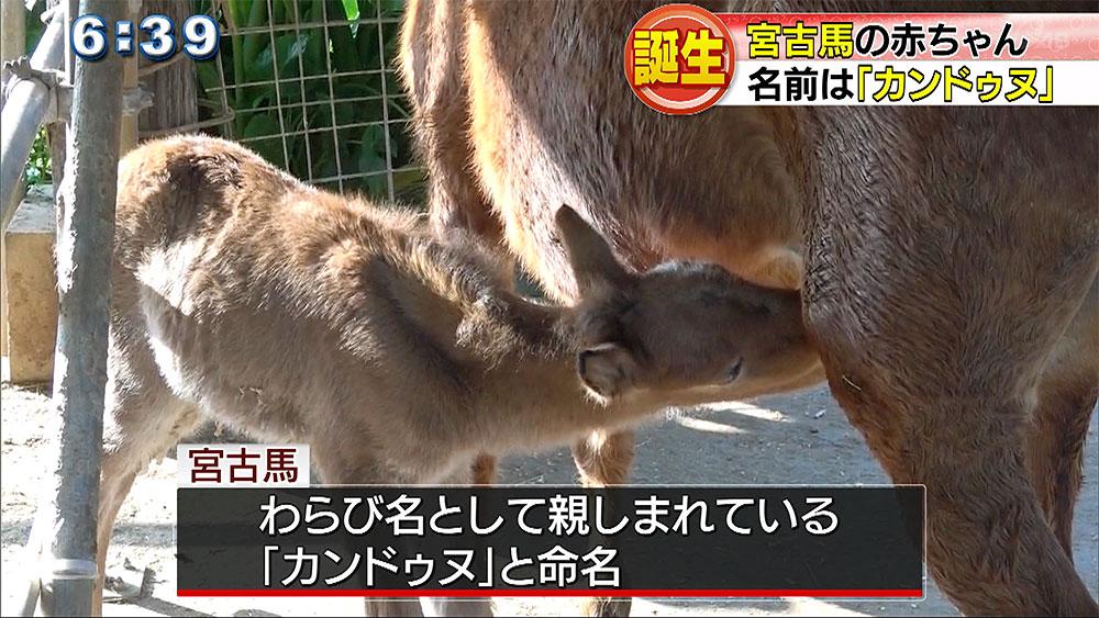 宮古馬の赤ちゃん生まれる
