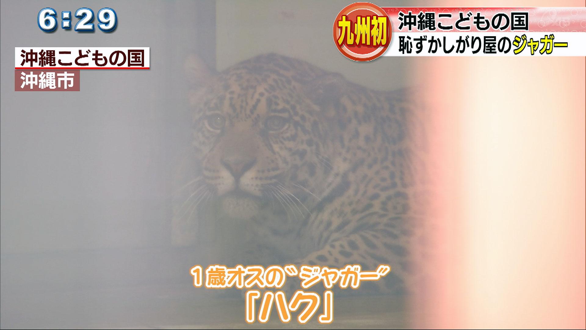 こどもの国にジャガーが仲間入り!