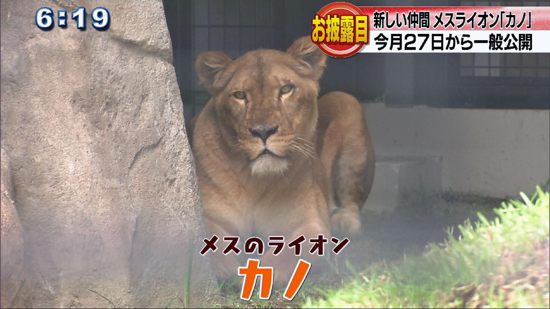 沖縄こども国に雌ライオンが仲間入り