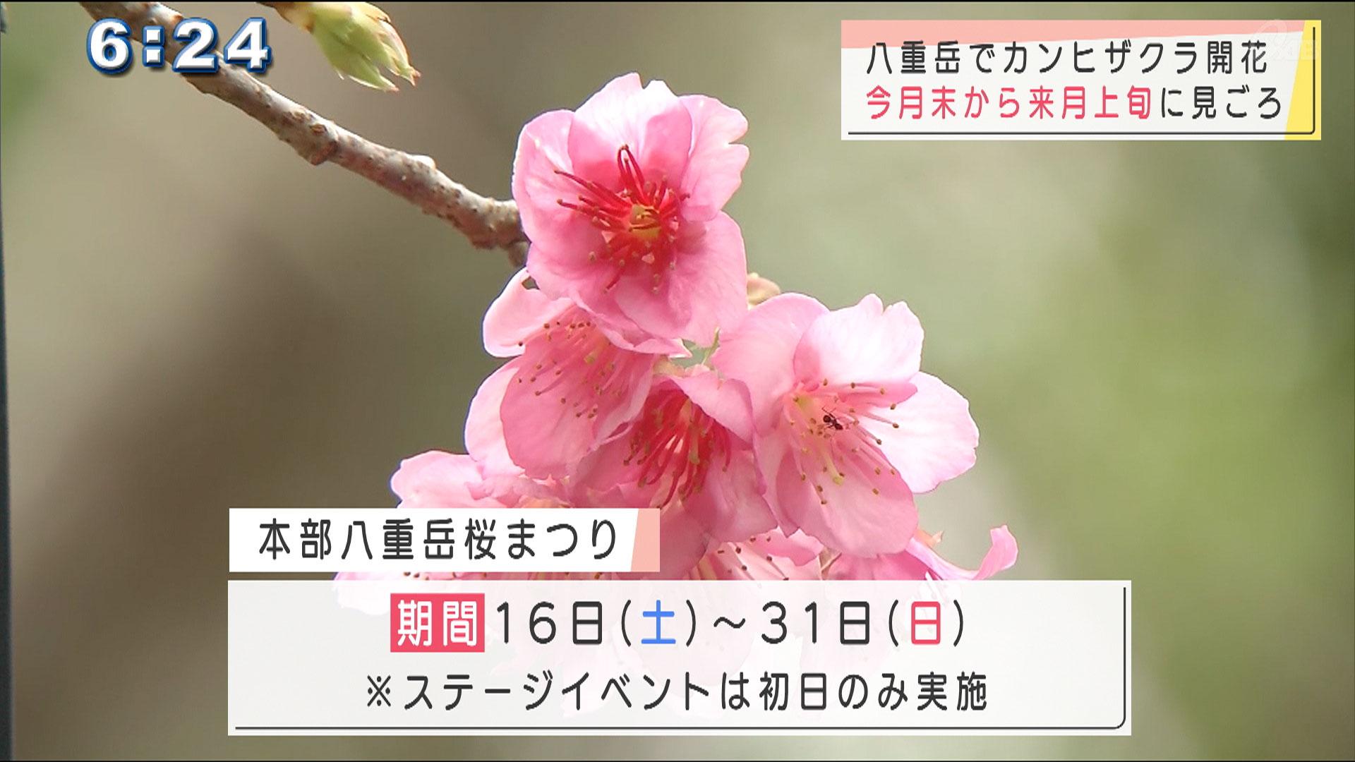 八重岳の桜咲き始める