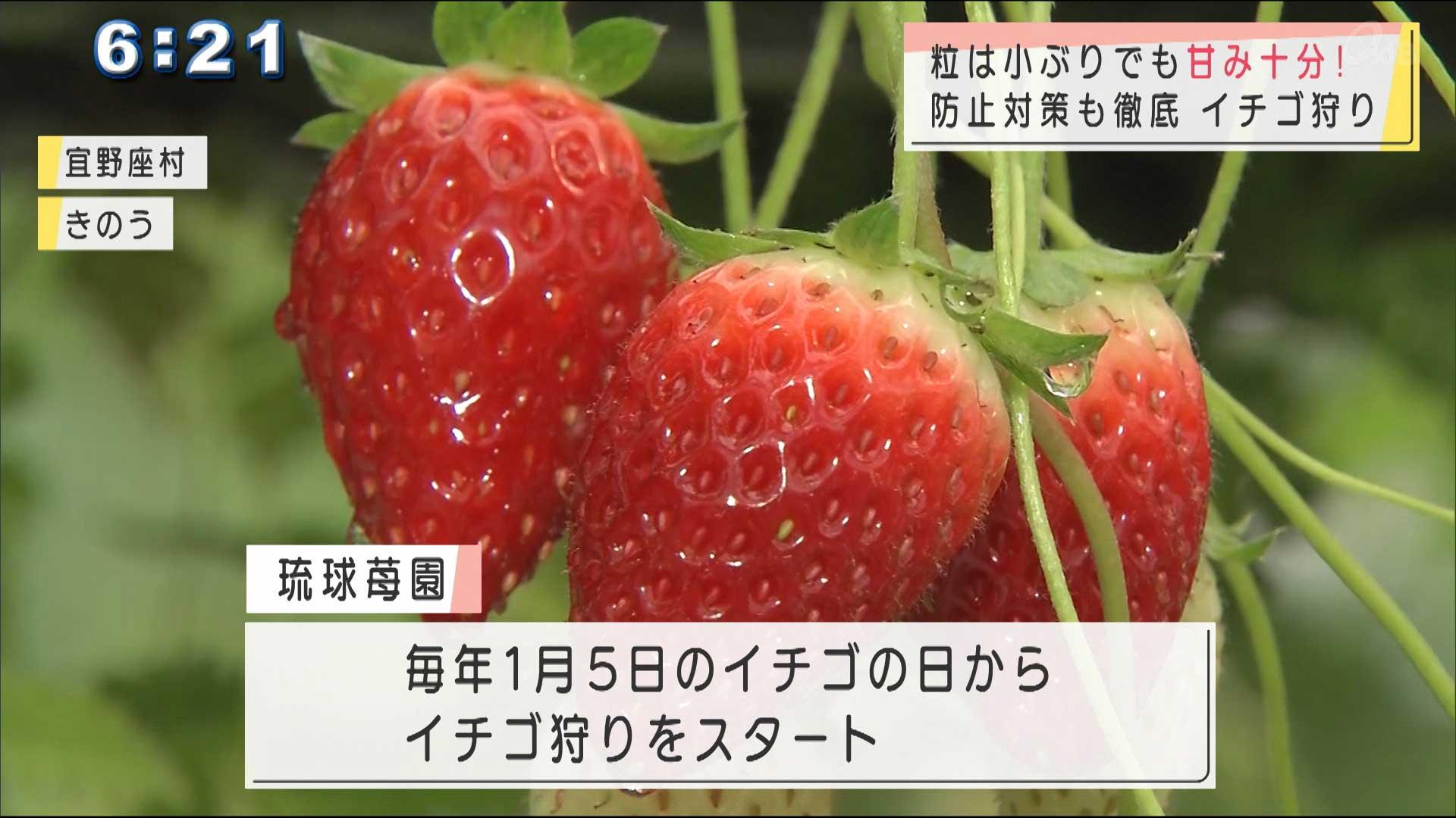 宜野座村の農園でイチゴ狩りスタート
