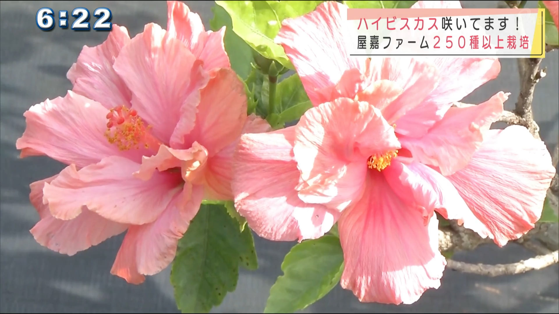 季節の草花「ハイビスカス」