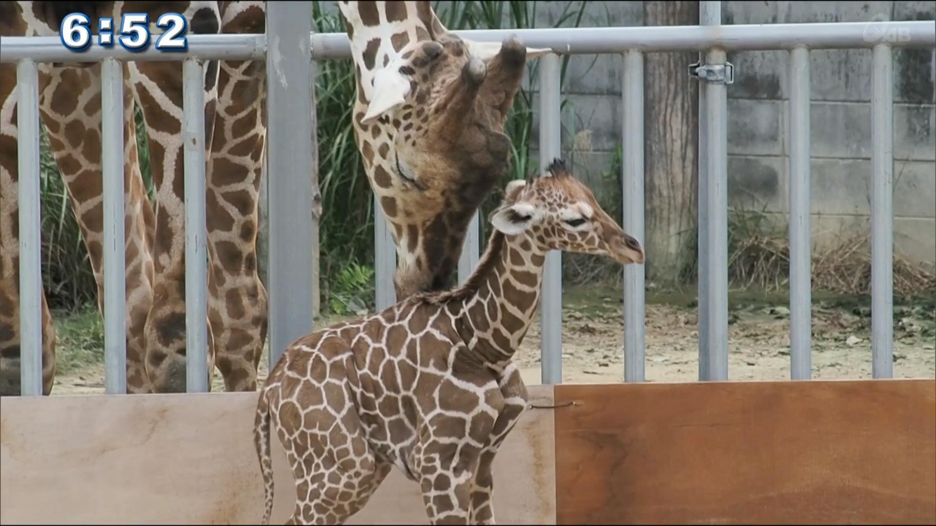 沖縄こどもの国で14年ぶり キリンのユメが出産