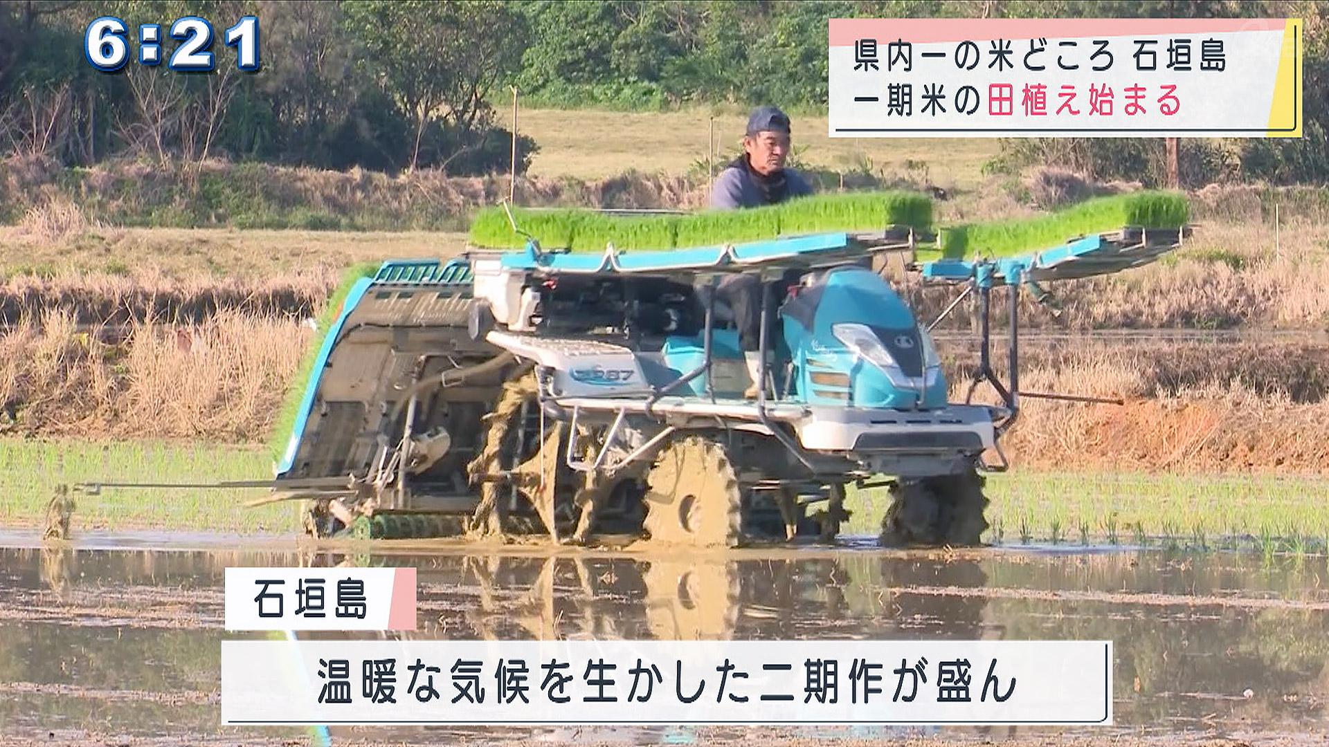 石垣島で田植えスタート!