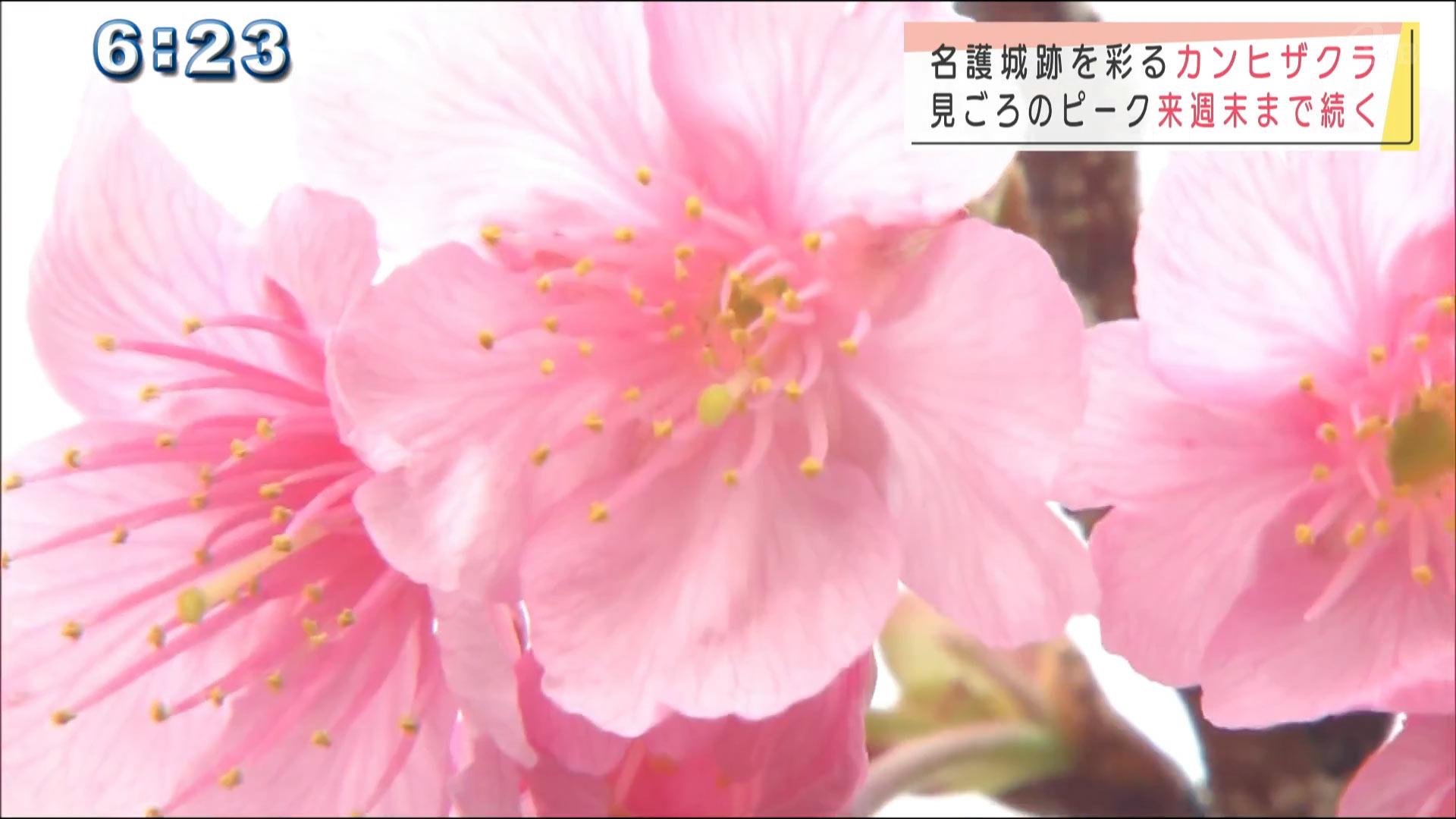 名護城の桜が見ごろです!