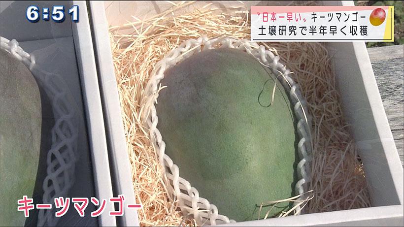 日本一早いマンゴー 収穫始まる