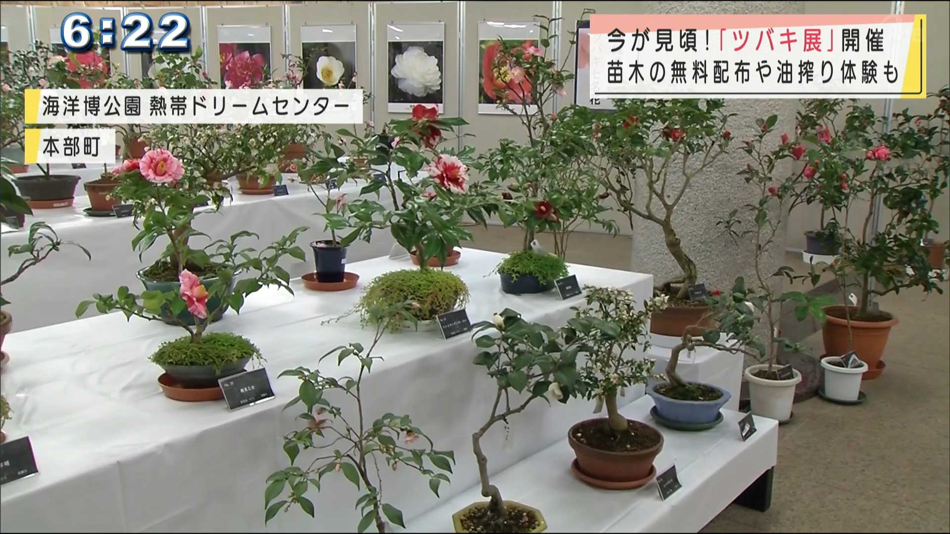 「ツバキ展示」が海洋博公園で開催
