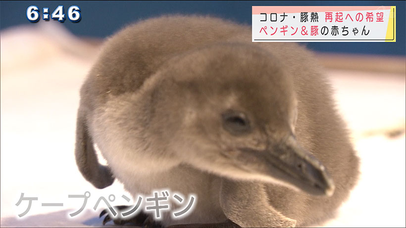 ペンギン&豚の赤ちゃん 再起への希望の光