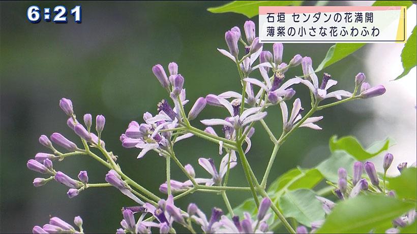 石垣島・センダンの花満開