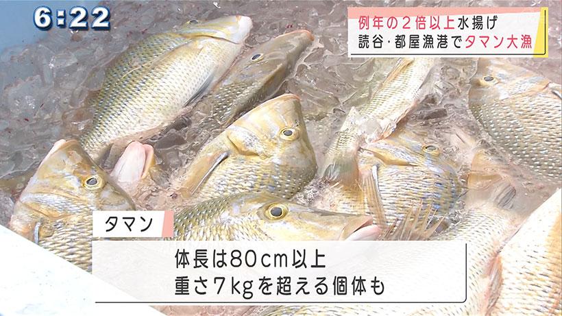都屋漁港でタマンが大漁
