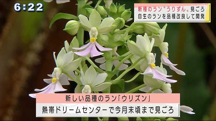 沖縄県本部町で新しいランの品種「ウリズン」開花