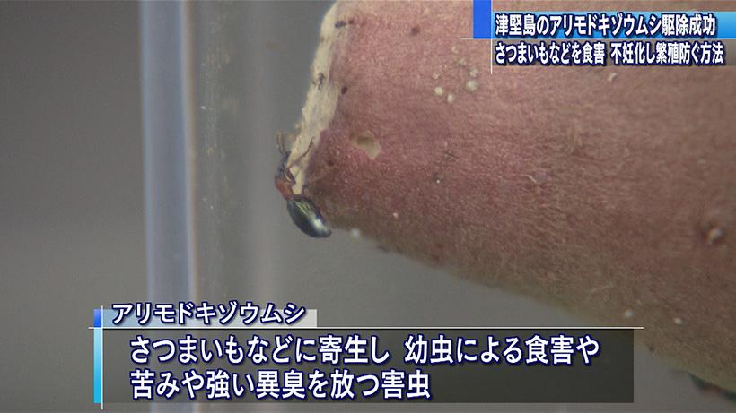 津堅島アリモドキゾウムシ駆除成功