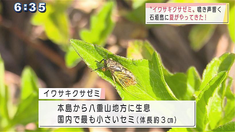 石垣島でイワサキクサゼミが夏の到来を知らせる