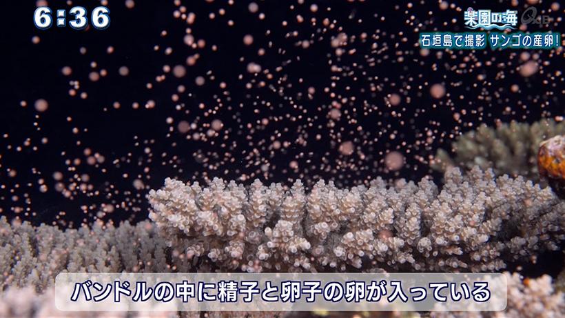 楽園の海 石垣島で撮影 サンゴの産卵!