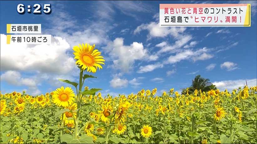 石垣島でヒマワリ満開です!