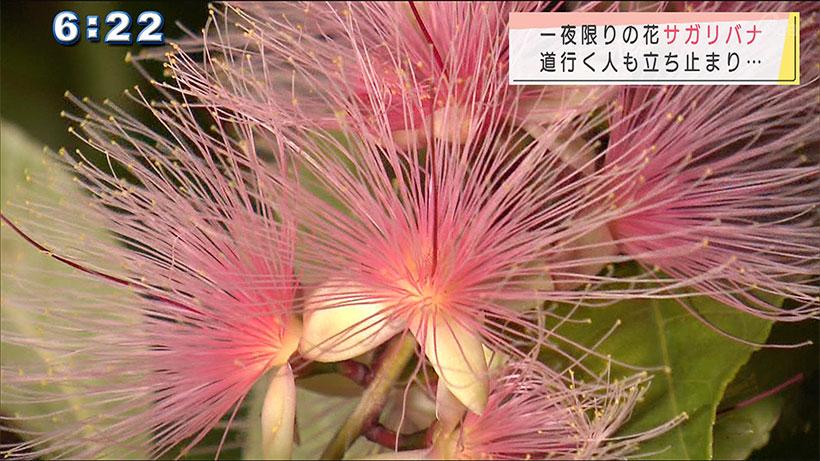 サガリバナ咲く