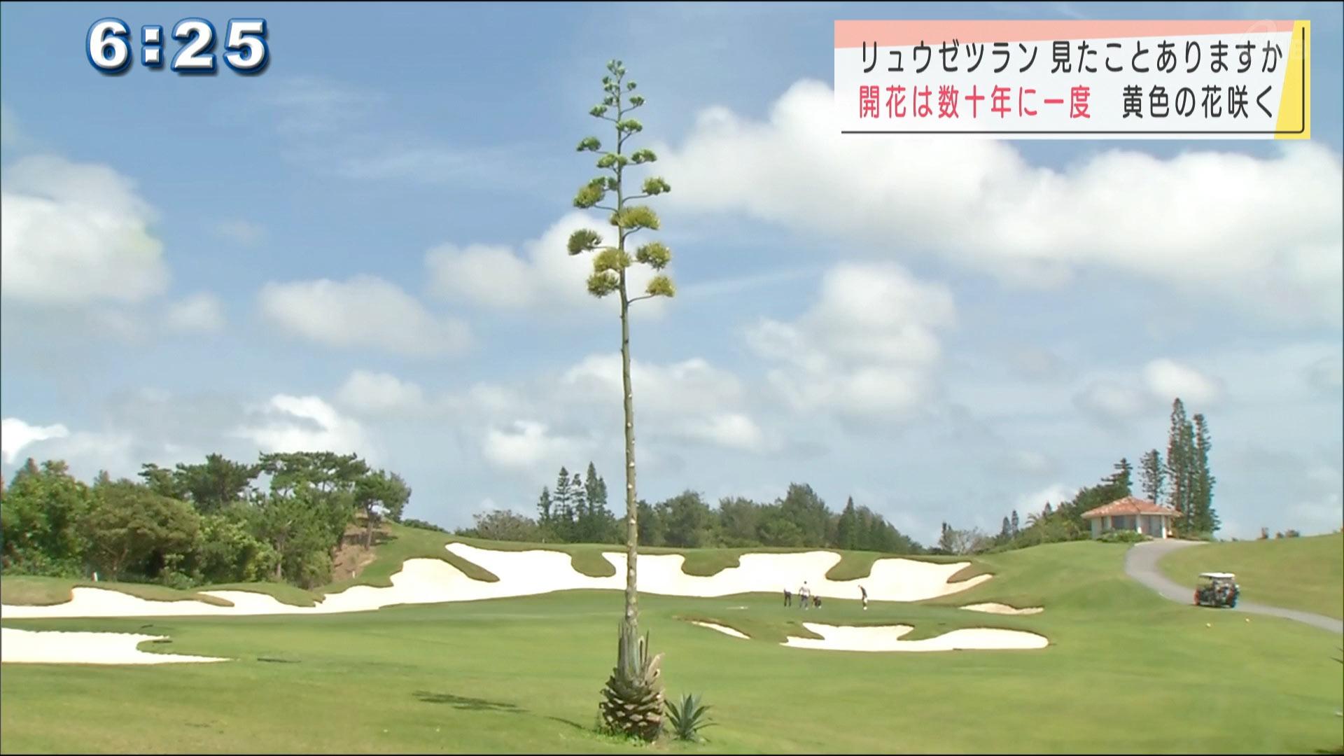 ゴルフ場で幻の花 開花