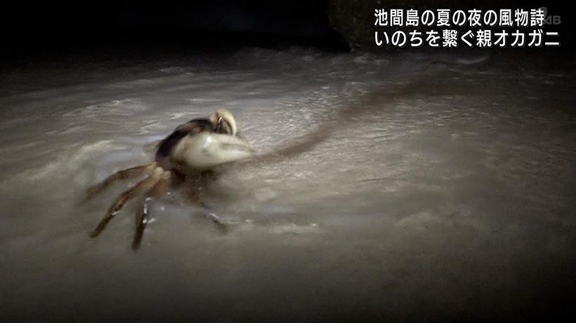 池間島でオカガニの放卵