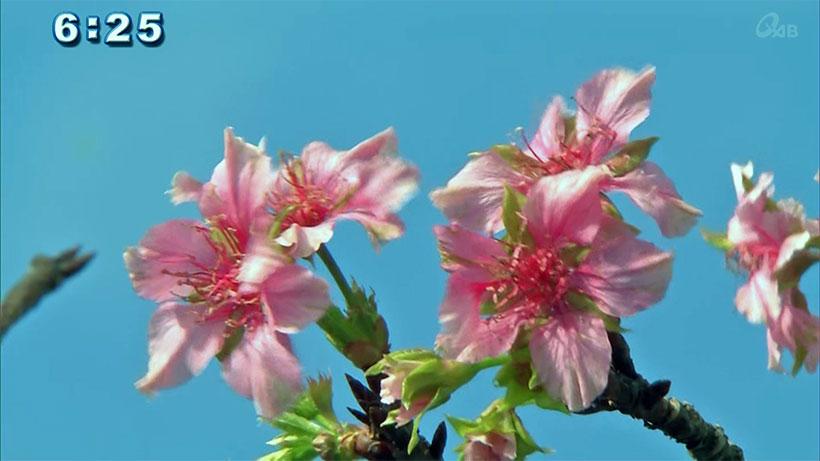盛大な勘違い!?カンヒザクラが季節外れの開花