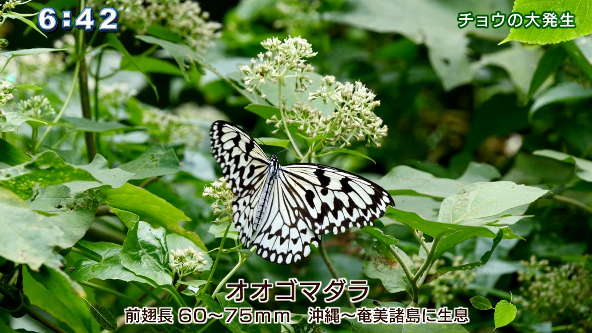 リュウキュウの自然 チョウの大発生